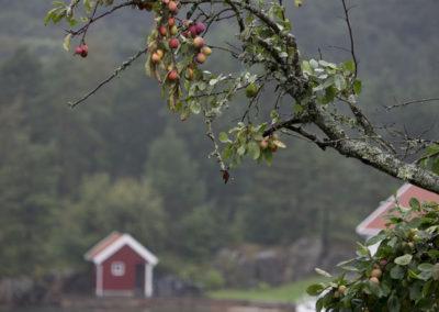 Sent i juli kommer plommene for fullt på Norgård.