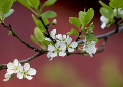 Vårblomstring på Norgård.