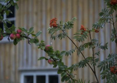 Eplene på Fuglevik er modne i slutten av august.