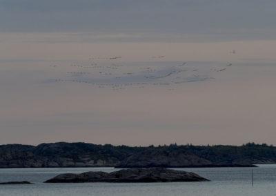 Grågjessene flyr inn mot Landøy. En fin junikveld.