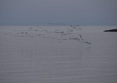 Det er juni og gjessene flyr langs kysten. Her passerer de Tånes på vei mot Skogsøy.